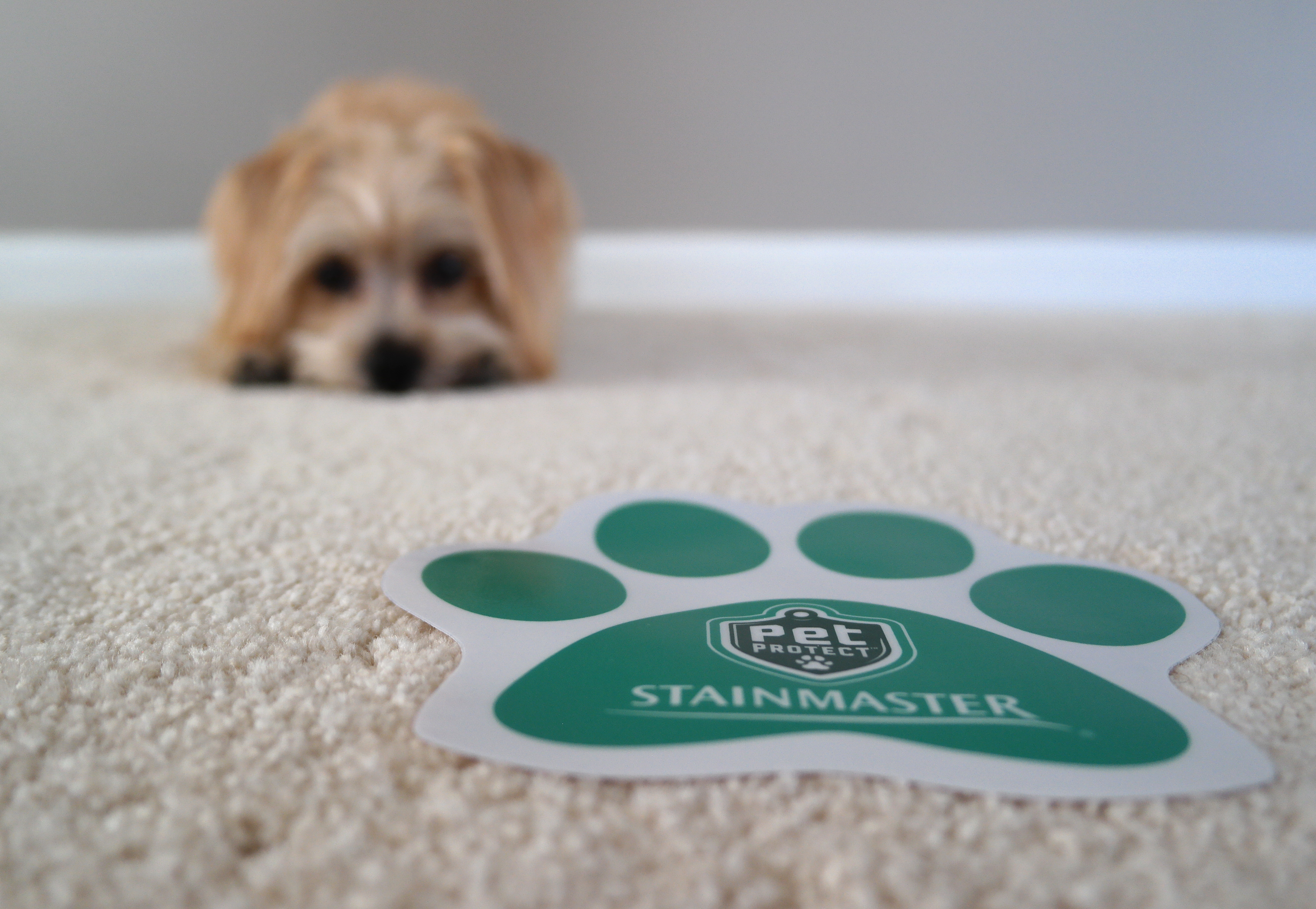 Rambo's New Stainmaster Carpet